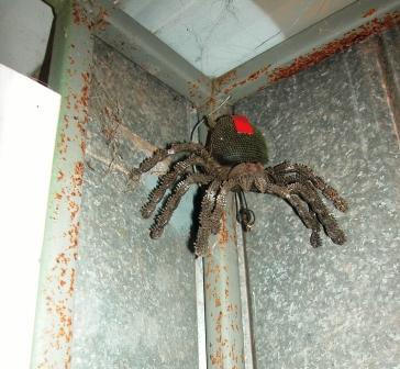 Giant Redback in dunny